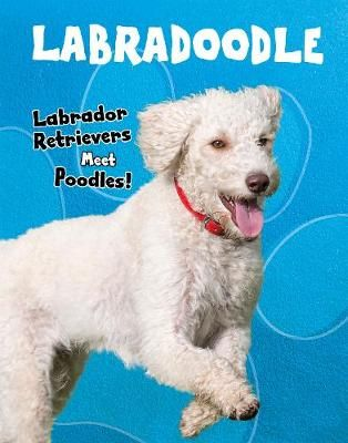 Labradoodle Badger Learning